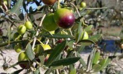 La provincia debió salir a auxiliar al sector olivícola