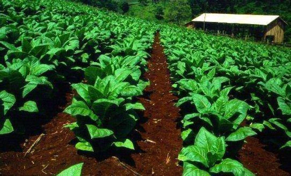 Pagarán más de $ 47 millones del segundo retorno de tabaco Burley