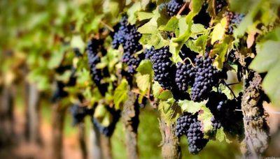 Fomento a la vitivinicultura