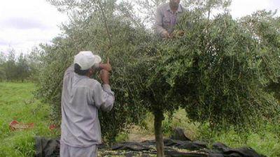 El sector olivícola estima una cosecha de 85 millones de kilos