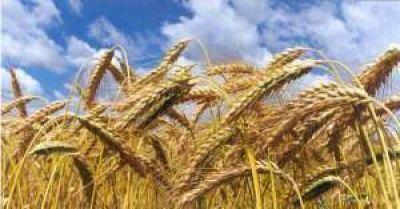 Niveles récord de exportación de trigo