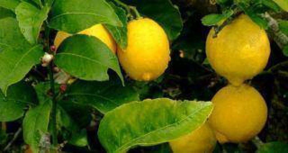 México abrió su mercado a los limones tucumanos