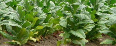 Morales acompaña al sector tabacalero