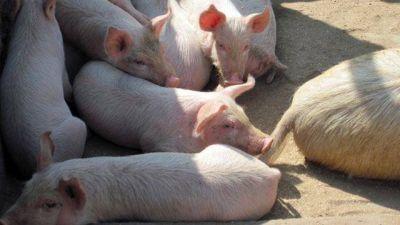 Entrerrianos piden a Nación que frene importación de carne cerdos