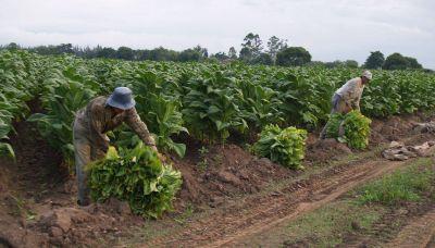 Fuertes expectativas de productores para definir el precio del tabaco