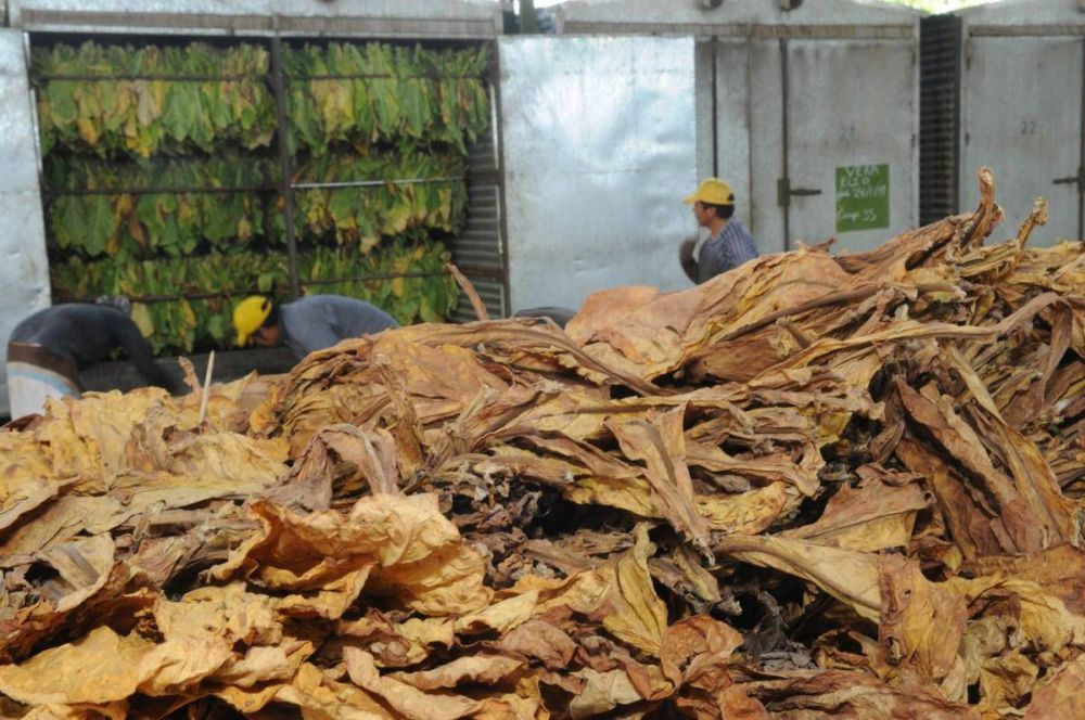 800 tabacaleros perdieron su empleo en el segundo semestre de 2017
