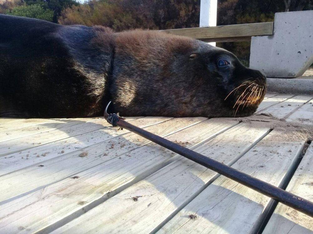 ¿El plan del Puerto funciona?: Ambientalista salvó otro lobo marino
