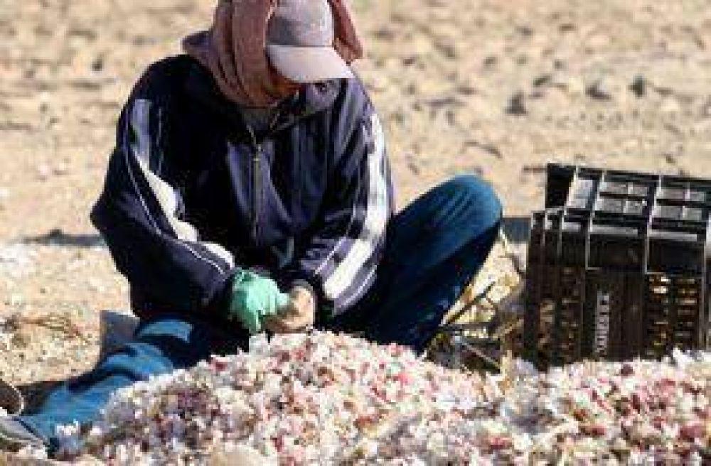 Estiman que disminuyó entre 30 y un 40% la superficie cultivada de ajo