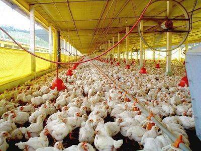 Usarán paneles solares en galpones de pollos para disminuir costos