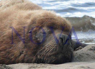 La muerte de los lobos marinos llegó al Concejo Deliberante
