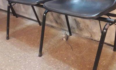 Judiciales denuncian ante el Ministerio de Trabajo la proliferación de ratas en el edificio de Tribunales