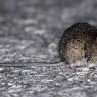 Confirmaron el quinto caso de hantavirus en la provincia de Buenos Aires