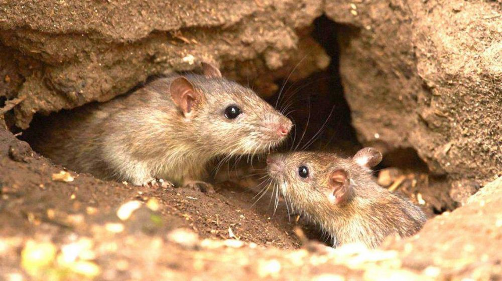 Confirman dos nuevos casos de hantavirus: ya se registraron 34 en Chubut