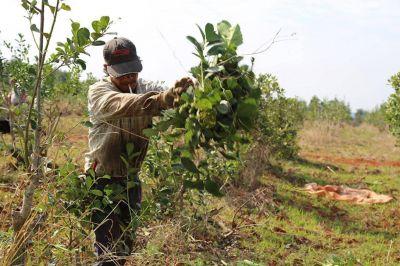 Crece la precarización laboral en los yerbales de Misiones