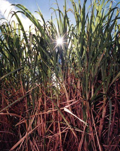 Buscan consolidar el bioetanol de caña