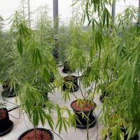 Tailandia comenzó a proveer cannabis medicinal a pacientes oncológicos