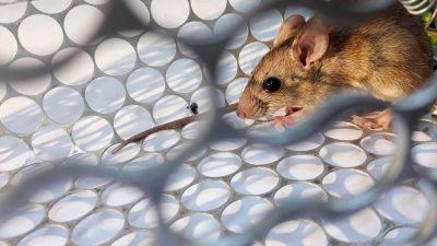 A un año del peor brote de hantavirus en el país: qué es, cómo se contagia y cómo prevenirlo