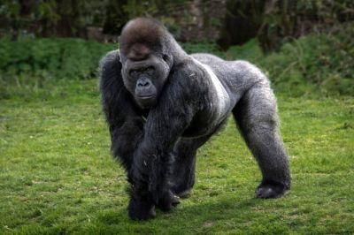 La risa gorila