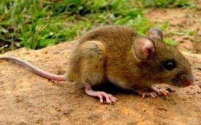 Dos nuevos contagios de hantavirus en La Plata