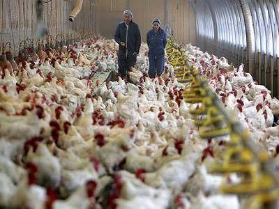 Paritarias: los trabajadores avícolas en conflicto y sin respuestas