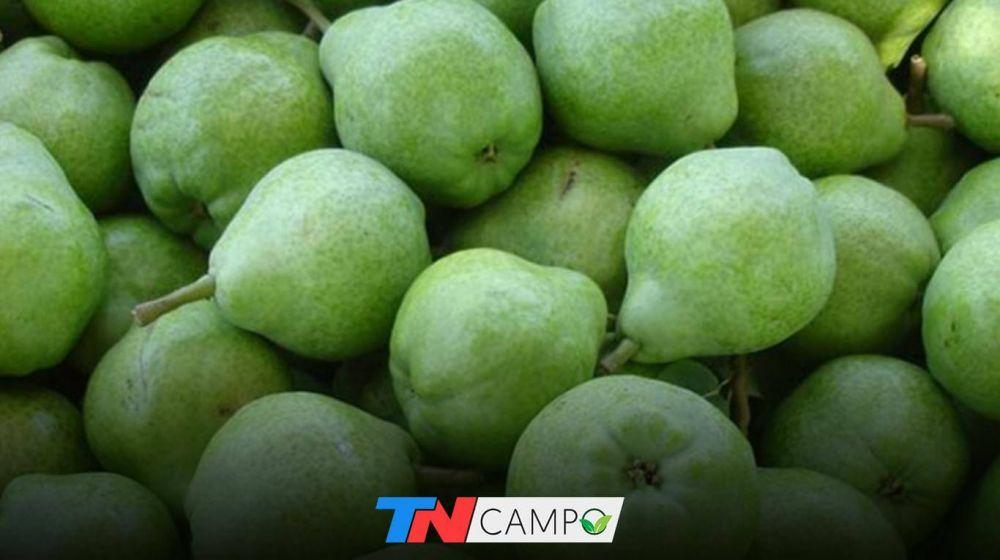 Peras y manzanas: afirman que pese a la buena cosecha, la actividad no es rentable