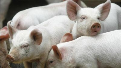 Acuerdo con China por carne de cerdos se firmará en noviembre