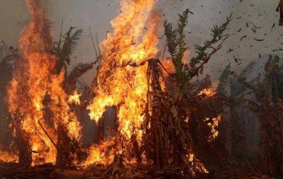 """Julio Murdoch: """"Unas 70-80 hectáreas de bananales ya fueron quemadas"""""""