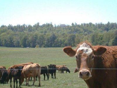 El 75% de la cría de ganado del Departamento Río Cuarto está en manos de pequeños productores