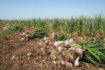 Righi quiere blindar a Lavalle por el aumento del robo de cosechas de ajo