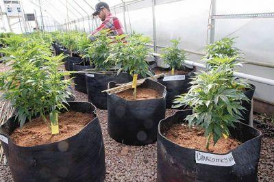 La Legislatura porteña debatirá una ley que autoriza el autocultivo de cannabis medicinal
