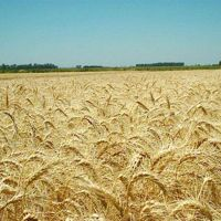 Comienzan los análisis de calidad e trigo gratuitos para productores