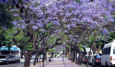 La ciudad se viste y se alfombra de violeta: florece el jacarandá