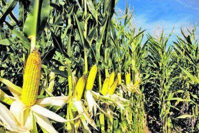 Precios de alimentos: Gobierno cerró exportaciones de maíz para priorizar el mercado interno