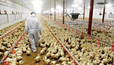 Productores avícolas agitan el fantasma de despidos masivos para presionar por aumentos