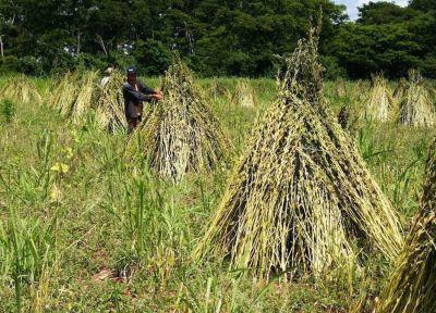 Exceso de las lluvias afecta cosecha de soja y preocupa a sesameros