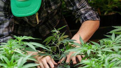 Luz verde de Salud al proyecto de cultivo de cannabis con fines de investigación