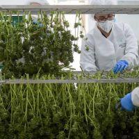 El presidente anunció que promoverá el uso de cannabis con fines medicinales y la cámara del sector lo celebró