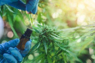 Cannabis medicinal: la Iglesia se manifestó en contra y sigue el debate