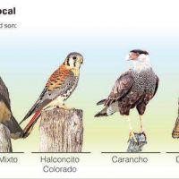 Atraídas por el alimento y refugio, cada vez hay más aves rapaces en la Ciudad
