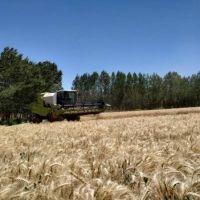 Los primeros pasos de un estudio revelan que la harina de trigo sanjuanina es de alta calidad