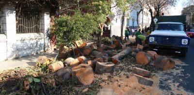 """La pelea por el arbolado: sacaron un gomero centenario y hay vecinos que se quejan: """"Talaron el alma de la plaza"""""""