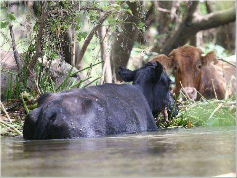 La creciente llegaría el 17 y las islas están repletas de ganado