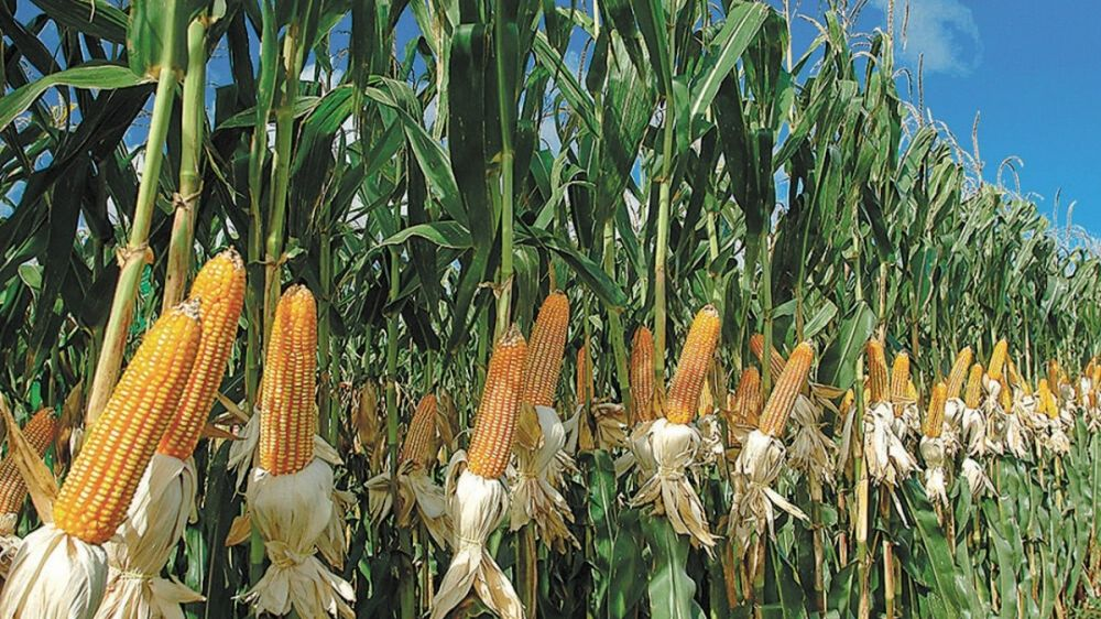 Tras el cepo a la carne, ahora el Gobierno limita las exportaciones de maíz