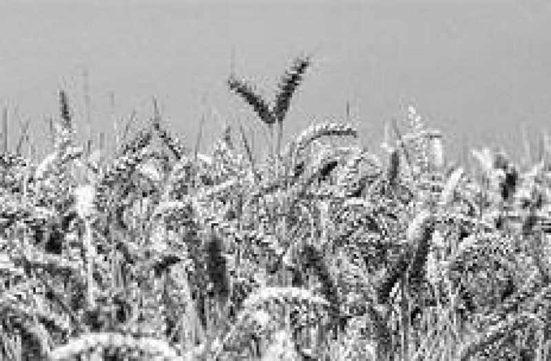 Acuerdo por el trigo entrerriano