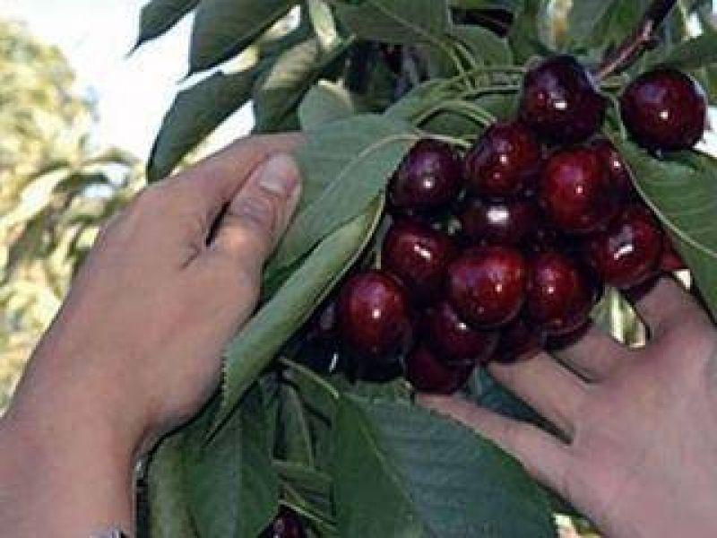 La cosecha de cerezas fue un 50 % menor