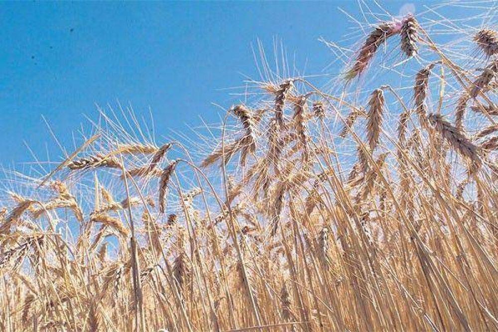 Compran trigo de otros para subir el precio de su cereal