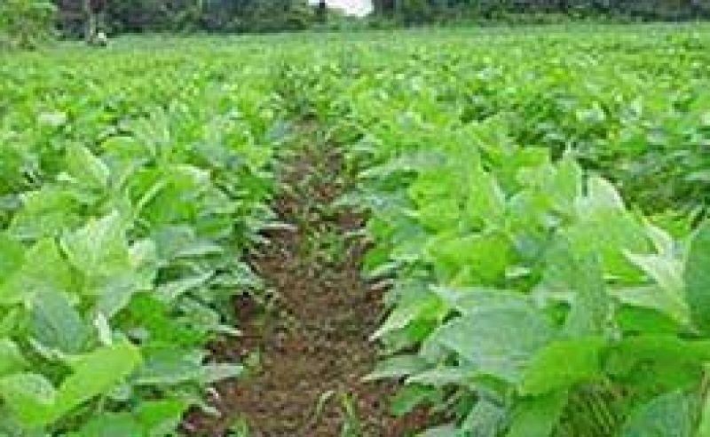 Bajaron los granos: soja 2,4%