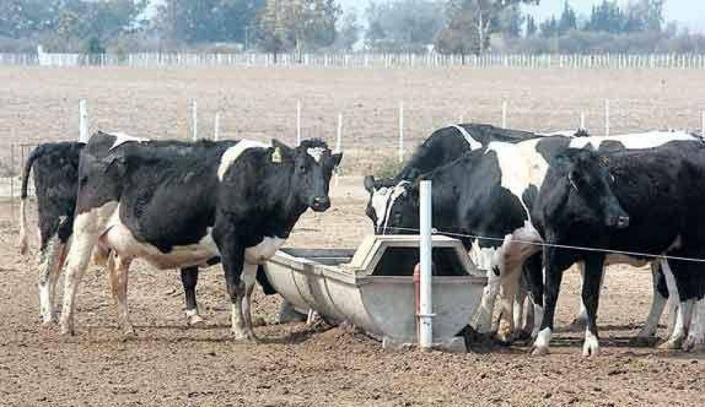 Sequía: cae hasta 15% la producción lechera