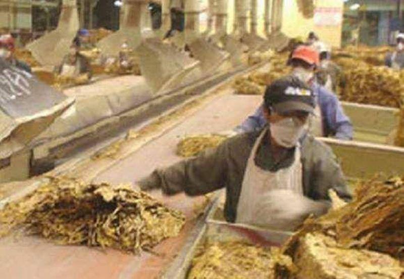 Nuevos salarios para rurales que trabajan en los tabacales.