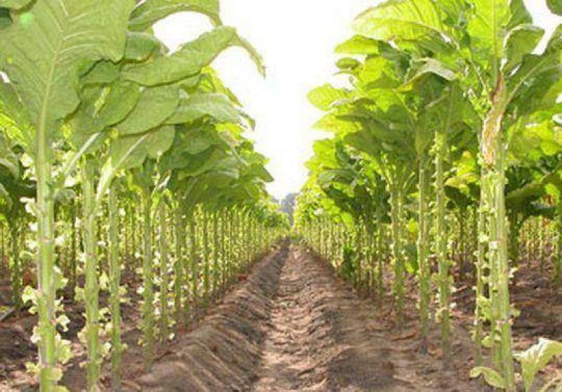 Respaldo de productores a gestiones que realiza la C�mara del Tabaco.